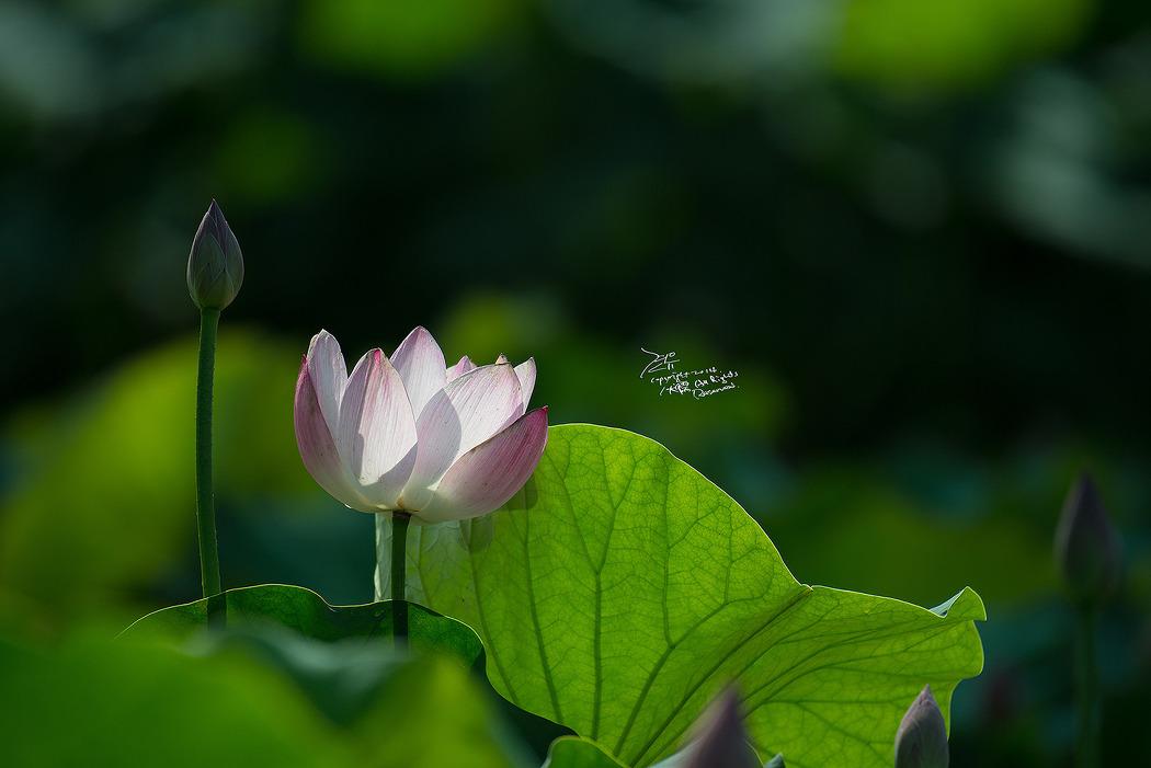 #150 궁남지 연꽃