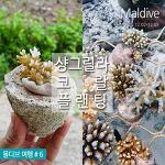 몰디브 샹그릴라 익스커션 : 산호심기, 코랄 플랜팅  Coral planting