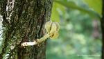 떡갈나무 새순과 꽃 Quercus dentata
