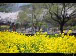 온천천의 벚꽃과 모습들