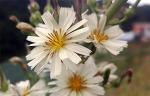 """[행복찾기] 제 이름을 가지지 못한 '들국화'의 정체는 무엇일까요?/""""들에서 피는 국화 종류의 꽃을 통칭하여 부르는 이름 들국화""""를 아시나요?/왕고들빼기와 고들빼기의 종류/왕고들빼기 효능.."""