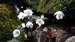 [야생화] 봄소식을 전하는 대표적인 야생화, 변산바람꽃/변산바람꽃 꽃말, '덧없는 사랑', '기다림'/바람이 잘 부는 데서 피는 '바람'이란 이름을 가진 꽃, 변산바람꽃/죽풍원의 행복찾..