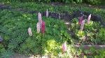 층층이부채꽃 루피너스
