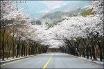 팔공산 벚꽃 ( 수태골-동화지구 ).벚꽃 터널