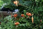 Dopo la pioggia i fiorire del Lilium