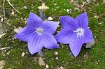 보라색 도라지꽃은 리트머스 시험지, 파랑새