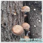 장흥표고버섯! 쫄깃쫄깃~ 영양가득~ 표고버섯! 장흥에서 전해드려요^^