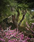 복사꽃과 소나무