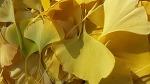 은행잎으로 마늘밭에 고자리파리및 살균효과내기