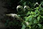 [야생화] 큰까치수염이라고도 부르는 앵초과에 속하는 다년생초 큰까치수영/큰까치수영 꽃말은 달성, 매력/죽풍원의 행복찾기프로젝트
