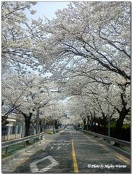 [창원]┃전국 최대규모의 창원(진해)지역 벚꽃축제