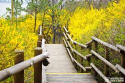 응봉산 (봄의 노랑빛)