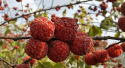 꾸지뽕 열매 100% 분말 꾸지뽕먹는방법도 간편 50대아빠생신선물로 굿