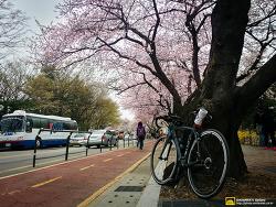 여의도 벚꽃축제 1주일전~