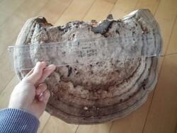 대형 말굽버섯 사진