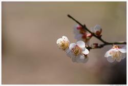 [3월, 흰꽃] 봄날은 간다-매화꽃