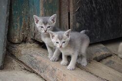 히말라야 산간지역의 토종 고양이