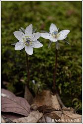 충남 보령 야생화(변산바람꽃)