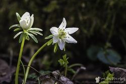 제주의 오름에서 만난 희귀 야생화 변산 바람꽃 녹화