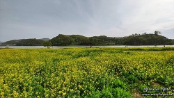 금강 신관공원 미르섬 유채꽃밭, 공주여행 필수 포토존