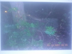 2007년 정해년에 만난 산삼 (산원초)