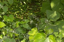아까시나무 흰가루병