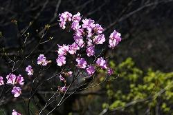 참꽃, 진달래꽃 이야기
