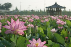 [함안여행] 연꽃 천지에다 주렁주렁 박까지 함안연꽃테마파크