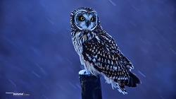 한겨울 함박눈 맞는 쇠부엉이 Short-eared Owl