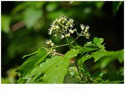 신나무(시닥나무)꽃과 효능- 눈병.안질.관절염.허약제질.위장병.신장병.간질환.간염.설사.수렴제/약용식물