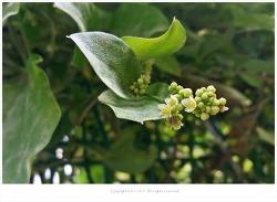 댕댕이덩굴꽃 - 신경통.류머티즘.수종.방광염/유독성식물/약용식물