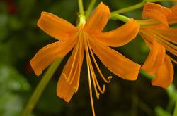 개상사화꽃 (진노랑상사화)