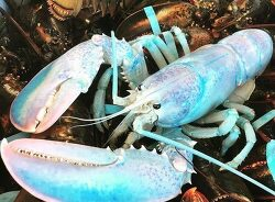 """VIDEO; Fisherman Catches Beautifully Rare """"Cotton Candy"""" Lobster in Canada 매우 드문 아름다운 코튼색깔의 바닷 가재"""