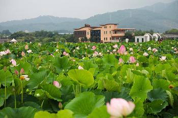 연꽃 향기가 가득한 주남저수지 연꽃단지 ( 창원명소/창원여행 )