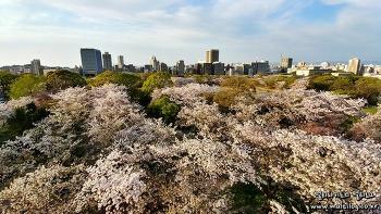 [후쿠오카여행] 벚꽃 명소를 가다! 후쿠오카 성터(마이주르공원) 산책