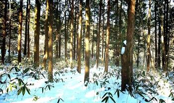 [제주 조릿대길] 혼자서걷기 좋은 삼나무숲길