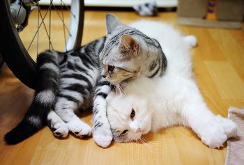 고양이 - 하이랜드폴드와 아메리칸 숏헤어의 예쁜 모습