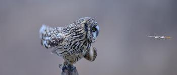 쇠부엉이의 부스럭 소리에  도약하기 30초간의 동작 Short-eared owl