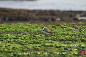 2014년 4월 컴퓨터 바탕화면 이미지(월페이퍼) 공개(흰물떼새, 꼬마물떼새, 바다직박구리, 박새, 오목눈이 등 새사진 5종)