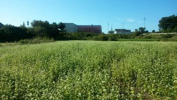[경기도 연천] 임진강평화습지원에 5만㎡ 규모 메밀꽃밭 조성, 10월 초까지 무료 개방