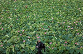 고려시대 연꽃 아라홍련이 있는 곳! 함안 연꽃테마파크!(함안연꽃/함안명소)