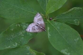 흰그물물결자나방 Evecliptopera illitata