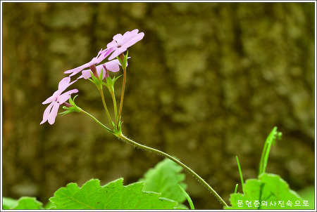 충남 아산 야생화 앵초