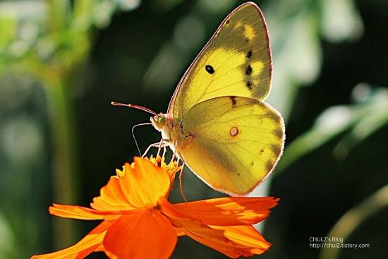 나비와 황화코스모스