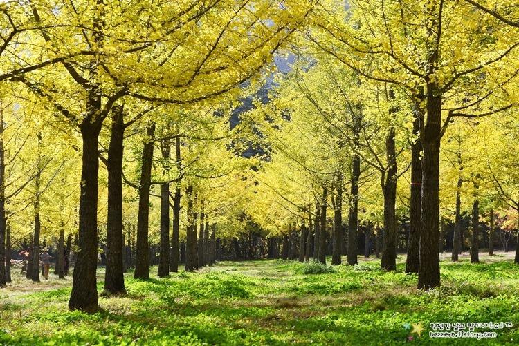 10월에만 문을 여는 비밀스런 가을명소 '홍천 은행나무숲' | 홍천여행