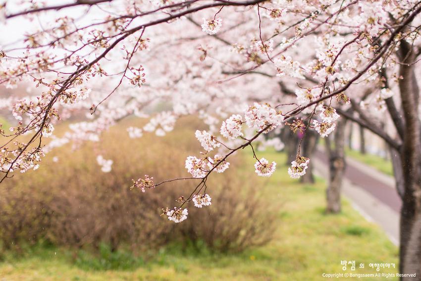 비가 와서 더 좋았던 봄꽃 여행, 부산 맥도생태공원 벚꽃길