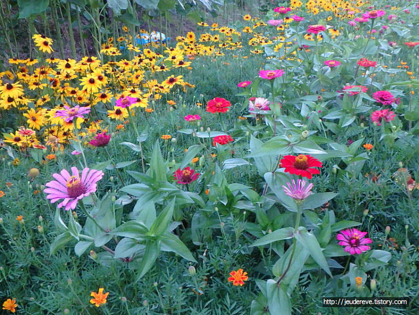 꽃들이 알록달록, 백일홍, 원추천인국, 매리골드, 해바라기,접시꽃, 코스모스, 노랑코스모스