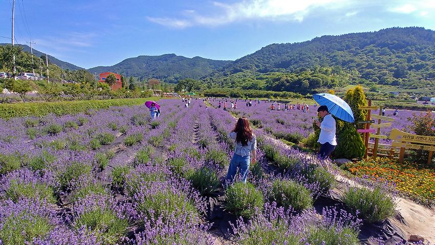 보라빛 향기 가득했던 광양 사라실 라벤더 축제( 광양여행 )