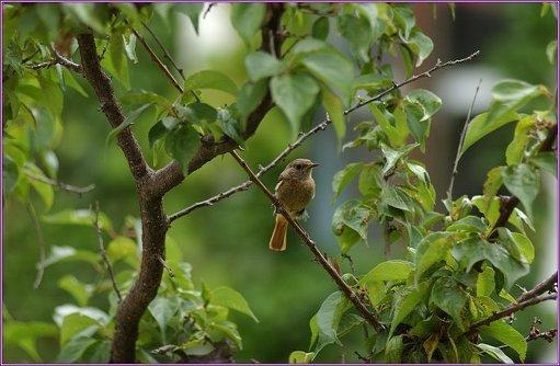 자두나무_작은새
