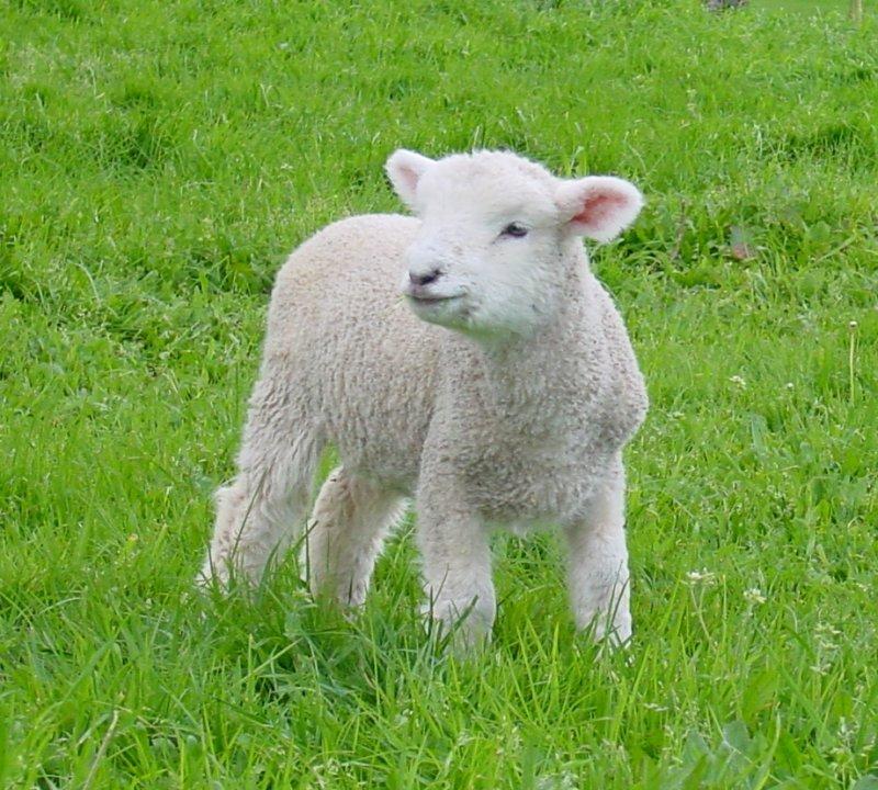 초원에서 뛰노는 어린양 사진 : 羊 かわいい 写真 : すべての講義